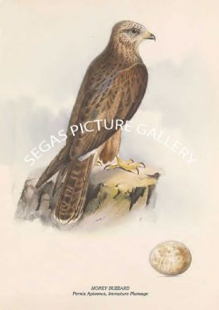 HONEY BUZZARD - Pernis Apivorus